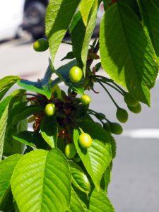 Olivenbaumextrakt