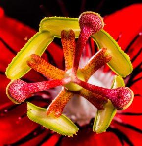 Passionsblumenkraut kaufen