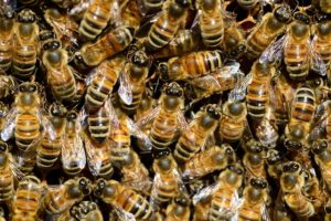 wie alt wird eine honigbiene